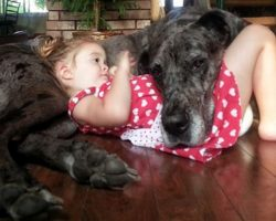 20 Great Danes Who Don't Realize How Big They Are