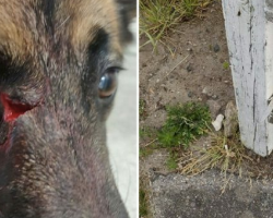 Dangerous trap almost made dog, Morgan blind- owners now warn all pet owners!