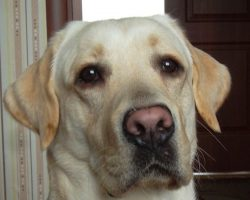 6 Cool Facts About Labrador Retrievers