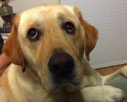16 Reasons Labradors Are The Worst Indoor Dog Breeds Of All Time