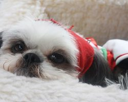 21 Reasons Shih Tzus Are Actually The Worst Dogs To Live With