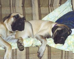 12 Realities That New Mastiff Owners Must Accept