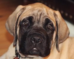 17 Things All Mastiff Owners Must Never Forget