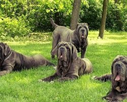 6 Problems Only Mastiff Owners Will Understand