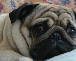 Top 10 Things Pugs Don't Like