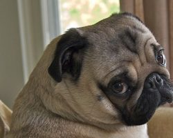 16 Reasons Pugs Are Not The Friendly Dogs Everyone Says They Are