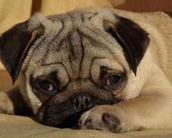 70 Most Popular Pug Dog Names