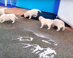 8 Golden Retriever Puppies Go To The Pool For The First Time And They Know Exactly What To Do