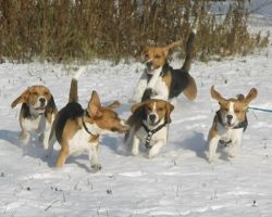 16 Reasons Beagles Are Not The Friendly Dogs Everyone Says They Are
