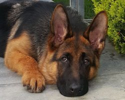 5 Problems Only German Shepherd Owners Will Understand