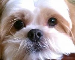 10 Shih Tzus Totally Defying The Laws Of Physics