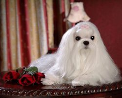 8 Facts About Shih Tzu You Didn't Know