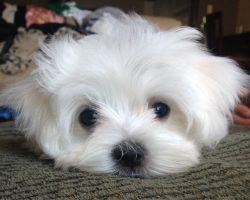 12 Reasons Why No One Should Ever Have A Maltese