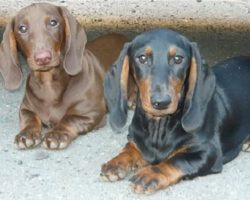 7 Cool Facts About Dachshunds