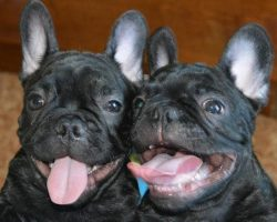5 Cool Facts About French Bulldogs