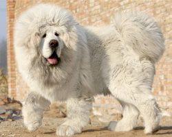 78 Most Popular Mastiff Dog Names