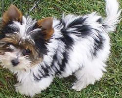 14 Unreal Yorkshire Terrier Cross Breeds You Have To See To Believe
