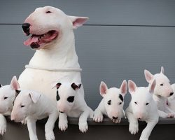 Top 10 Things English Bull Terriers Don't Like