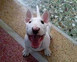 6 Problems Only English Bull Terrier Owners Will Understand
