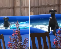 Guilty Dog Caught In The Pool By Owner, Tries To Play It Off As If It Never Happened