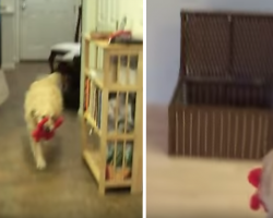 Dad Tells Dog To Clean The House, Golden Retriever Goes On Adorable Cleaning Spree
