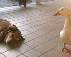Duck Waddles Onto The Porch Out Of Nowhere To Cheer Up A Sad Dog
