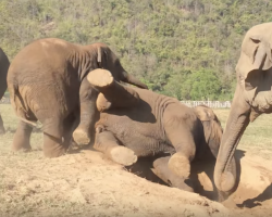 Elephant Playing With The Herd Rips A Fart, Walks Away In Embarrassment
