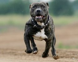 10 Pit Bulls Totally Defying The Laws Of Physics