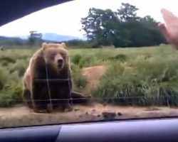 Woman Waves To A Bear From Her Car Has Bear Respond In Hilarious Fashion