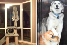 19 Pics That Prove Huskies Are A Little Different From Other Dogs