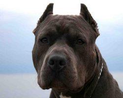 78 Most Popular Pit Bull Dog Names