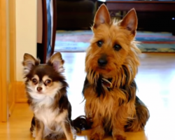Mom asks her two dogs who pooped in the kitchen- now keep your eyes on the bigger dog on the right