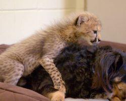 This Dog Raises Baby Cheetahs and Wallabies and Ocelots