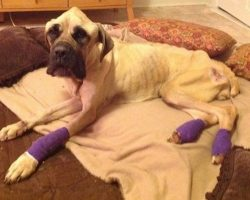 English Mastiff Starved And Thrown From Car Wags Her Tail Every Time She Sees Her Rescuer