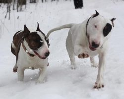 17 Reasons English Bull Terriers Are Not The Friendly Dogs Everyone Says They Are