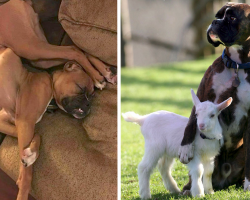 20 Pics That Prove Boxers Are A Little Different From Other Dogs