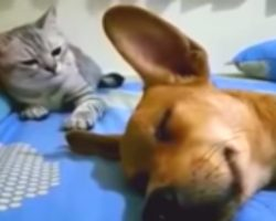 Dog Accidentally Farts In His Sleep But It's Cat's Comeback That Has Internet Cracking Up