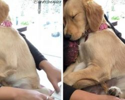 Watch This Sweet Golden Retriever Puppy Get Serenaded to Sleep by Her Human