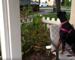 Recently Adopted Shelter Dog Patiently Awaits Owner To Return Home