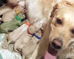 Golden Retriever Gave Birth To 8 Pups — when owner sees the 9th she loses her breath