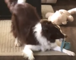 Dog Thinks No One Is Watching And Readies All Of His Toys
