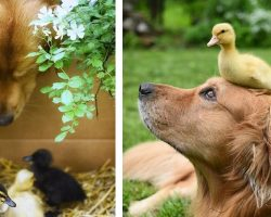 Male Dog Adopts 3 Newborn Ducklings, Ends Up Becoming The Cutest 'Mom' To Them