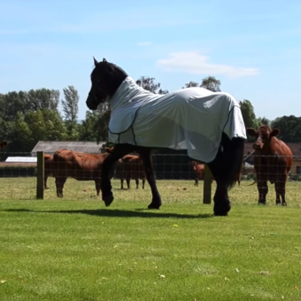 Elegant Friesian Horse Struts Up To Cow Neighbors And Puts On A Show