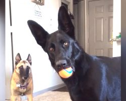 German Shepherd Hears A Child Crying, And His Worried Reaction Is Beyond Adorable