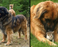 16 Images That Prove Leonbergers Are Too Majestic And Pure For This World