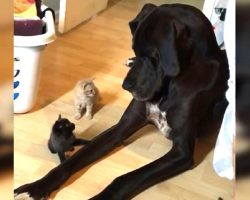 Gentle Great Dane Makes Friends With Curious Kittens And It's Absolutely Adorable