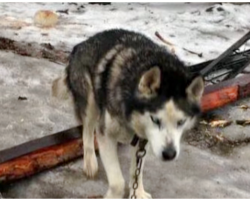 Husky Spent 15 Yrs On A Chain, Living In Waste Until Kindness Finally Finds Him