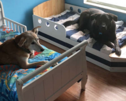 Each One Of Family's Seven Rescue Dogs Has Its Very Own Toddler Bed