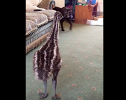 Baby emu loses it when the dog walks into the room for the first time
