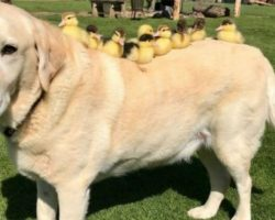 9 Adorable Ducklings Become Orphans, Gentle Labrador Steps In To Become Their Mom